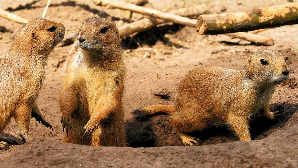 Image of prairie dogs. The joke is that they're digging.